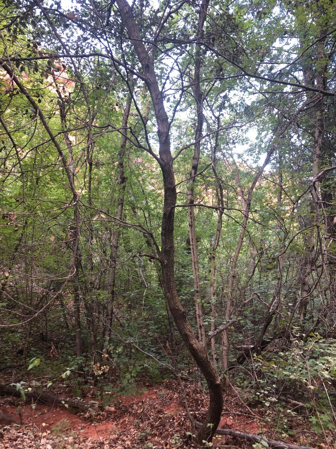 sedona tree 1